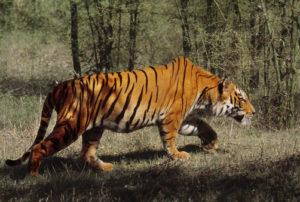 Bengal tiger stalking, Panthera tigris tigris, Western Ghats, India